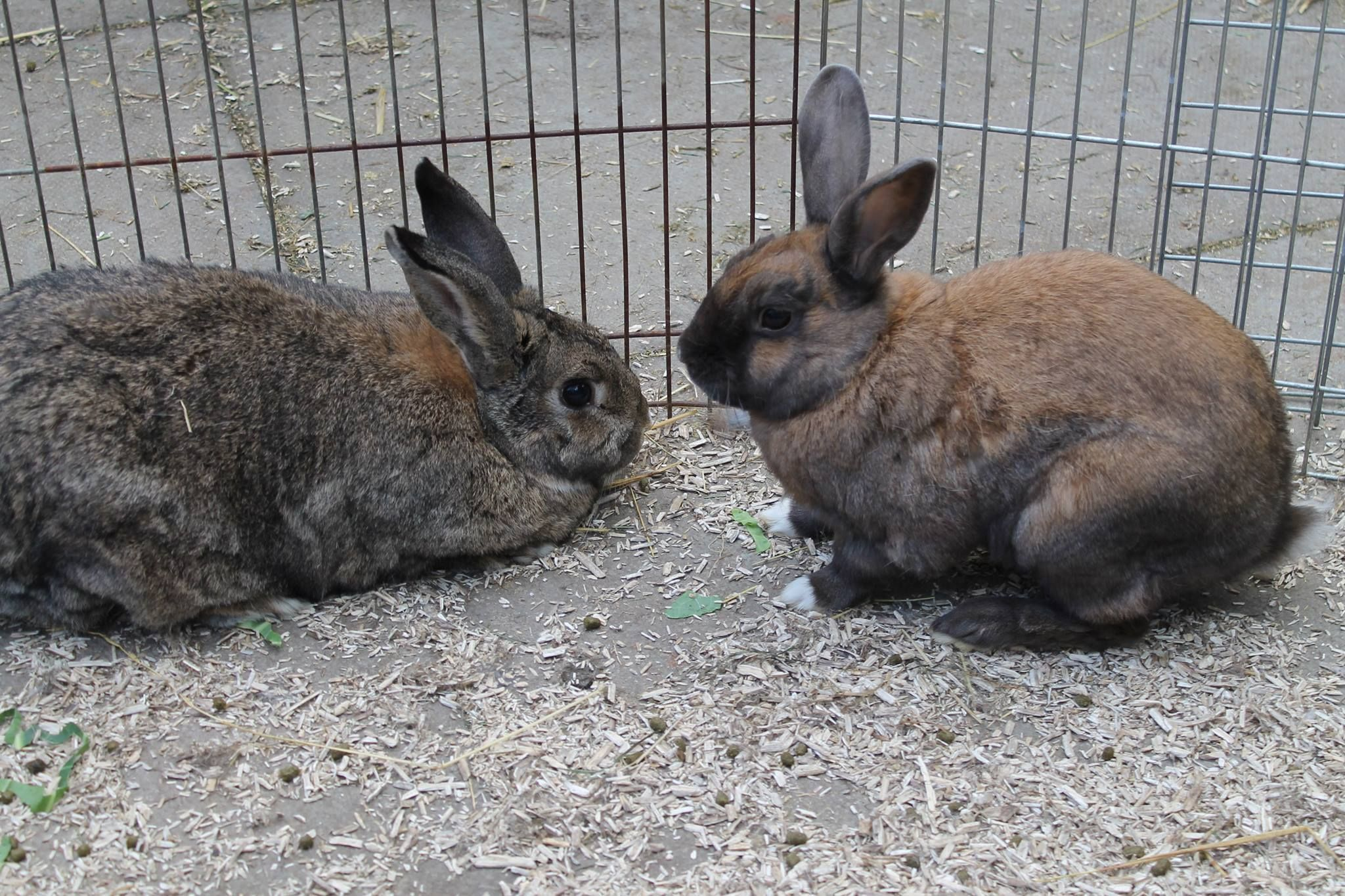 Trevor also hopped off yesterday with Hazel. Another successful rabbit re homing by Buddies Bunnies Rescue.