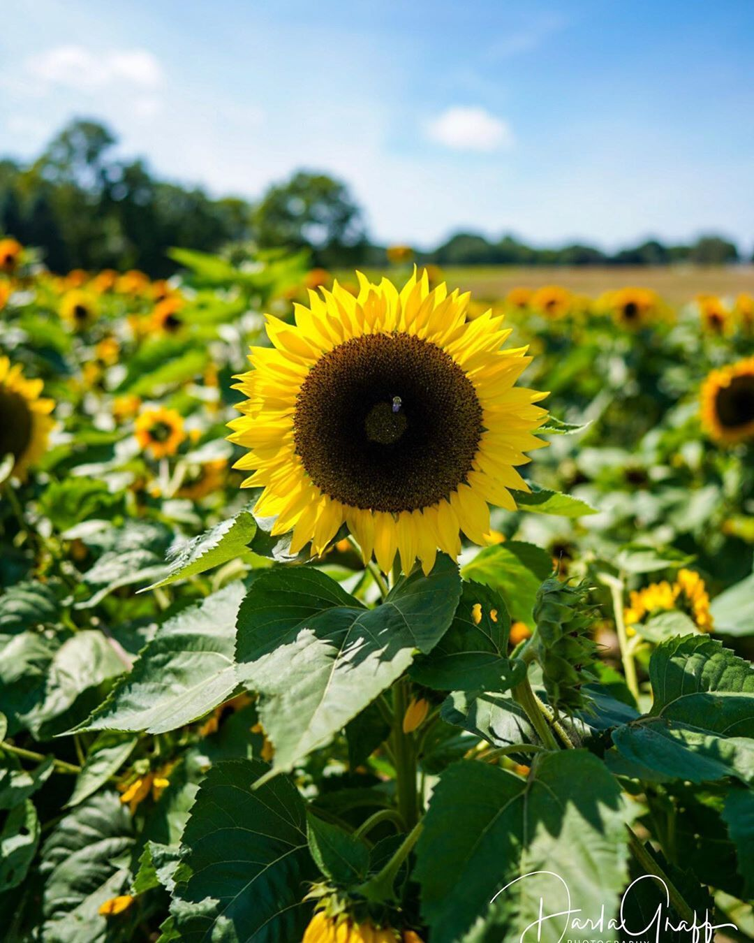 September Days Are Here Have A Happy Month September Sunflower Sunflowers Sunflowers Sunflowerfield Garden Flowers Flower Naturelovers