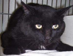 Jett Is An Adoptable Domestic Short Hair Black Cat In East Greenwich Ri Jett Is A Handsome Black Boy With Black Cat Pictures Handsome Black Boys Cute Animals