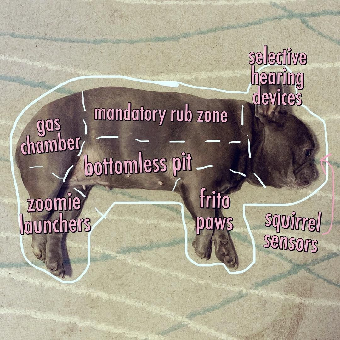 Anatomy of a French Bulldog