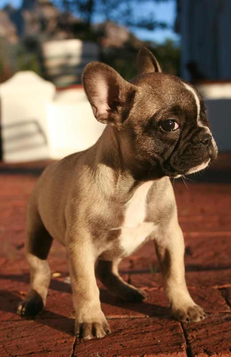 The Daily Puppy Photo French Bulldog Puppies Cute Dogs Cute Animals