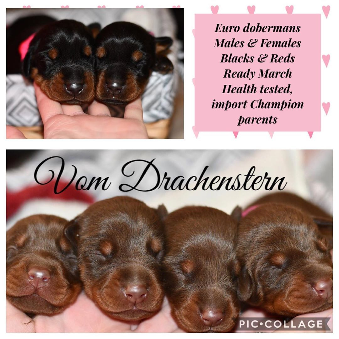 Dm For Info Located In Ny Can Ship Ground Or Air Doberman