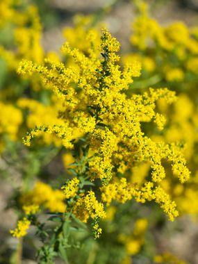 Solidago Shortii Solar Cascade Goldenrod Type Perennials Height Medium 2 3 Plant 2 Apart Bloom Time Late Summ Plants Flowers Perennials Perennials