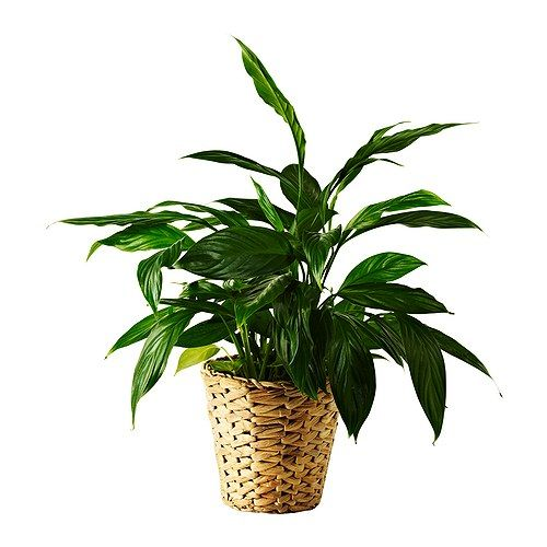 fridfull plant pot water hyacinth p l a n t s d co maison maison ikea. Black Bedroom Furniture Sets. Home Design Ideas