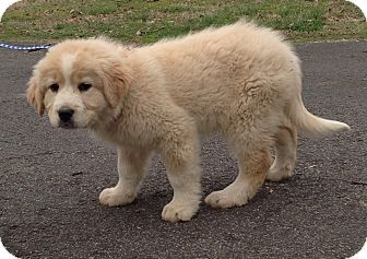 3 23 15 Savannah Tn Great Pyrenees Chow Chow Mix Meet Bentley