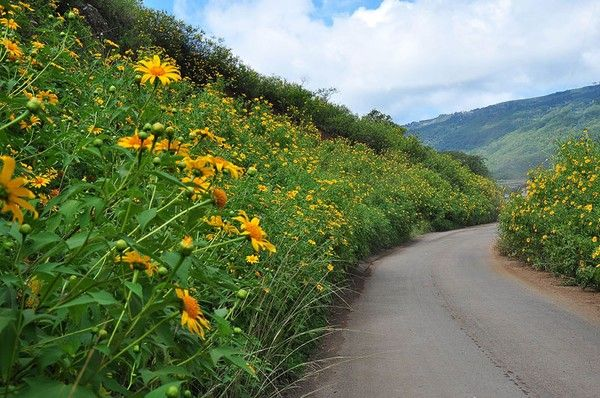 a walk of humble happiness ^^ #Mexicansunflower, #blossomseason, #Vietnamhighland