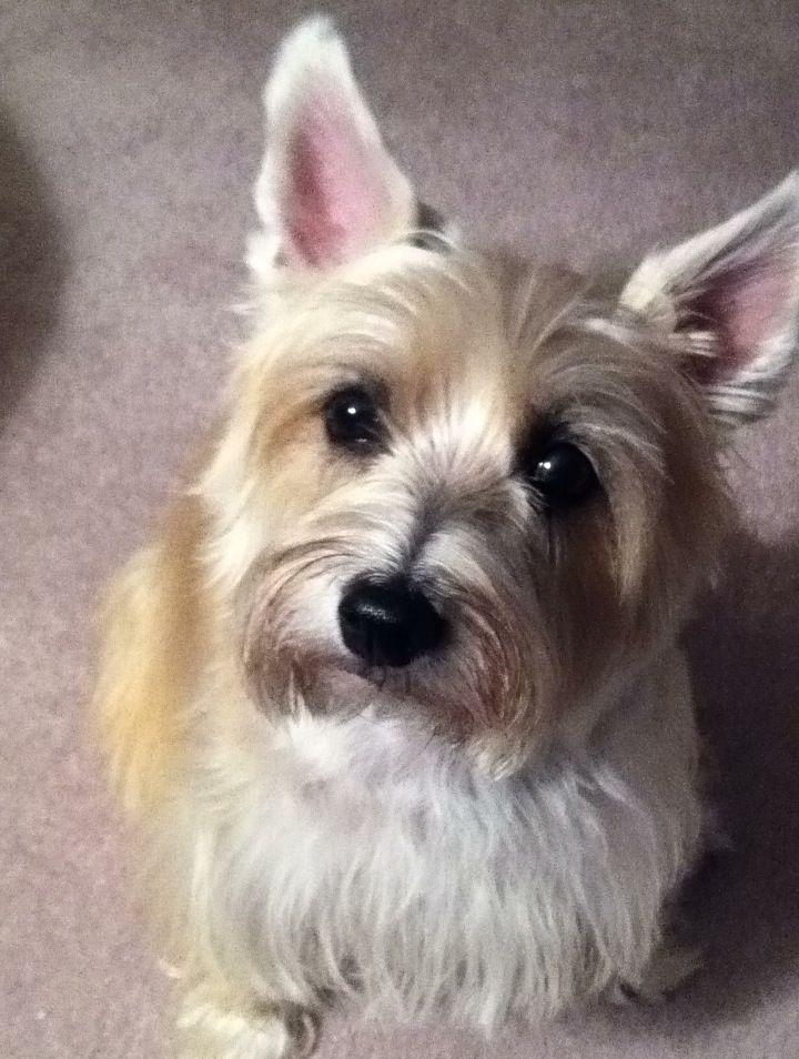 Cairn Terrier Another Bogie Look Alike Cairn Terrier Terrier