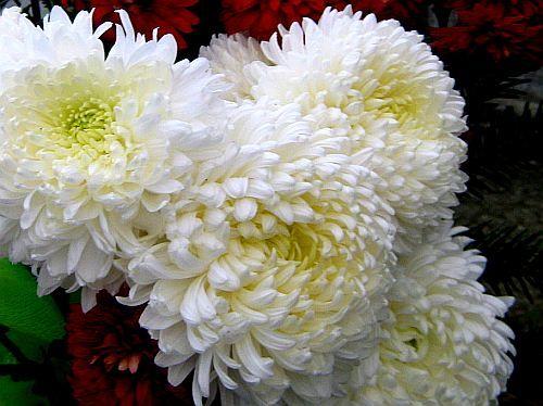 White Chrysanthemums Several Planted Around The Front Patio White Chrysanthemum Chrysanthemum Flower Bloom