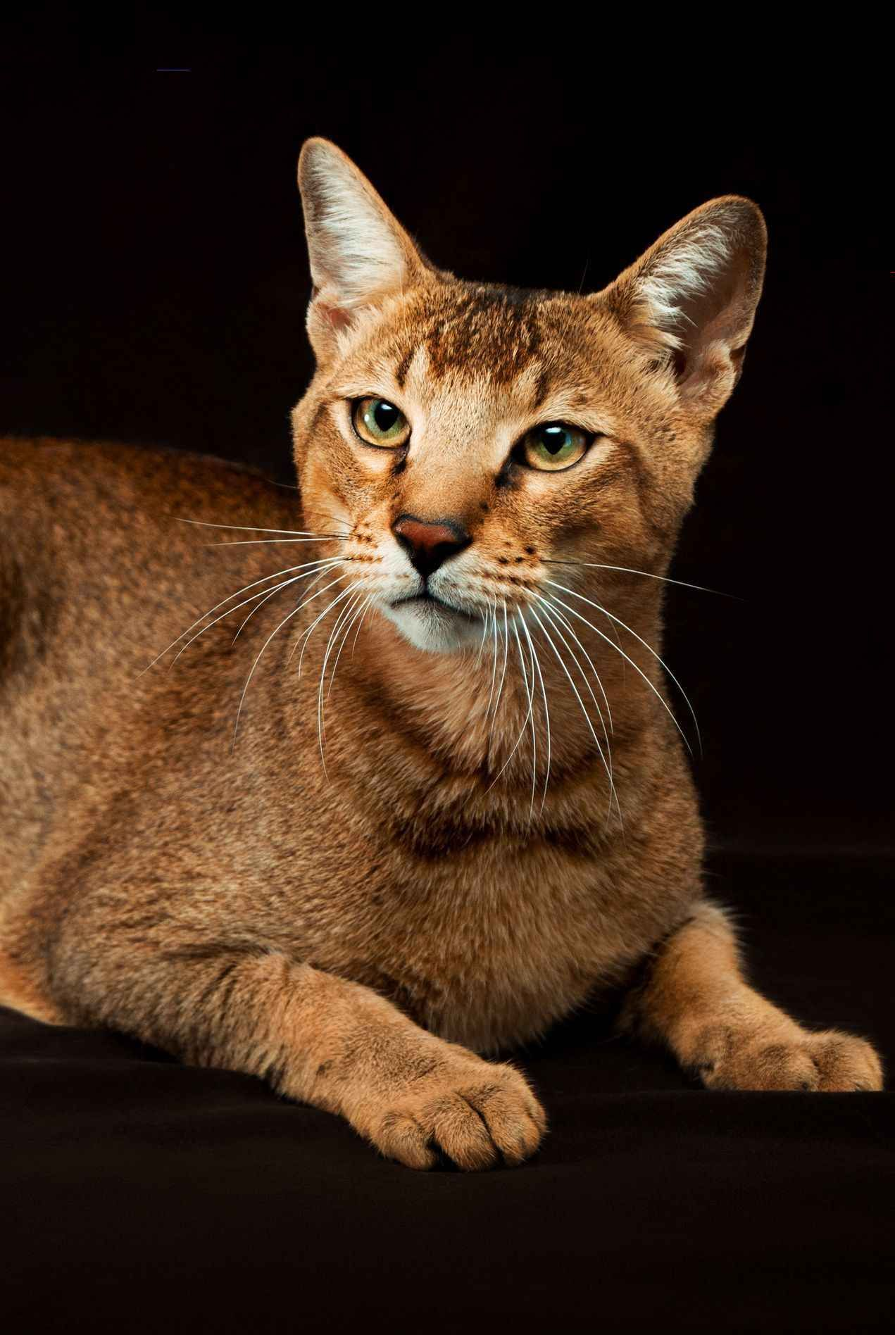 A List Of The Most Beautiful Large Cat Breeds Catbreeds Larger Than Life We Re Sure They Think So Katzen
