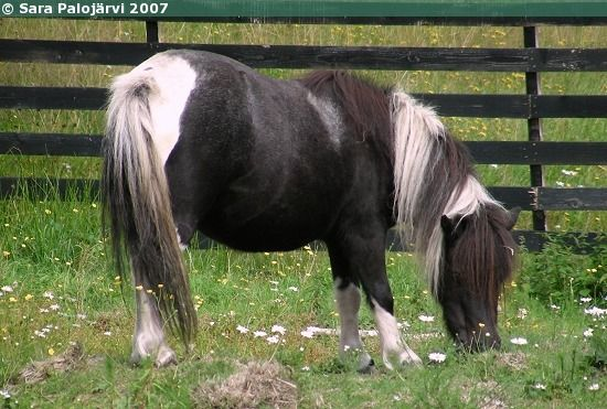 Falabella miniature horse mare Looking Glass Saluki