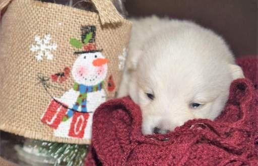 Pomeranian Siberian Husky Mix Puppy For Sale In Mankato Mn Adn 20328 On Puppyfinder Com Gender Male Age 2 Week Puppies For Sale Siberian Husky Mix Puppies