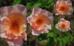 Znalezione obrazy dla zapytania rosier ornement de la nature