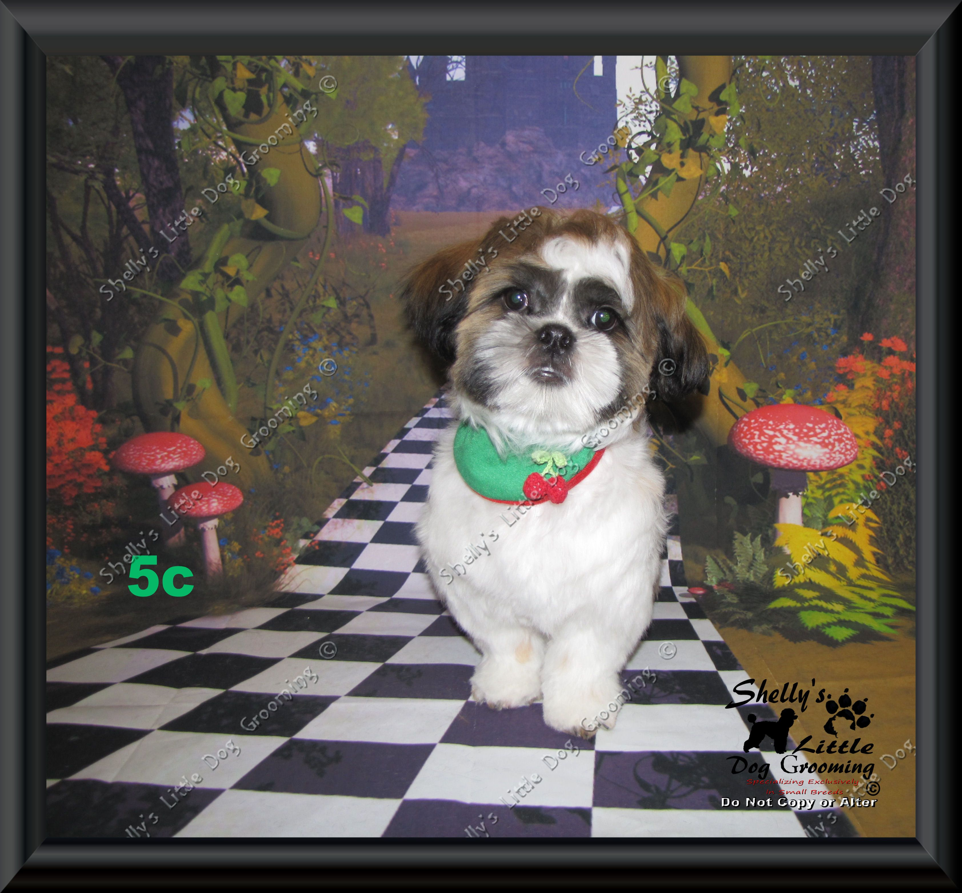 Walley 2019 Shelly S Little Dog Grooming Dogs Little Dogs