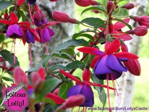 Fairy Princess Lolly Hummingbird Garden Flowers Hummingbird Plants Hummingbird Garden