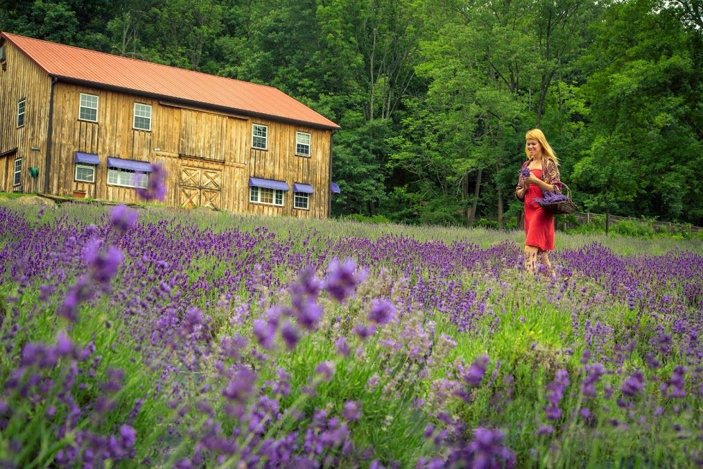 The Unmistakable Scent Of Lavender Calls Visitors To The Peace
