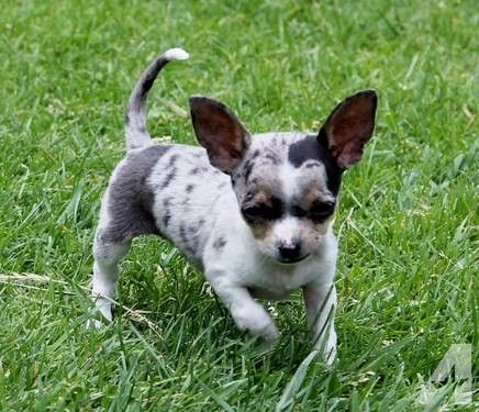 Adorable Blue Merle Chihuahua Puppy 9 Weeks Akc Chihuahua