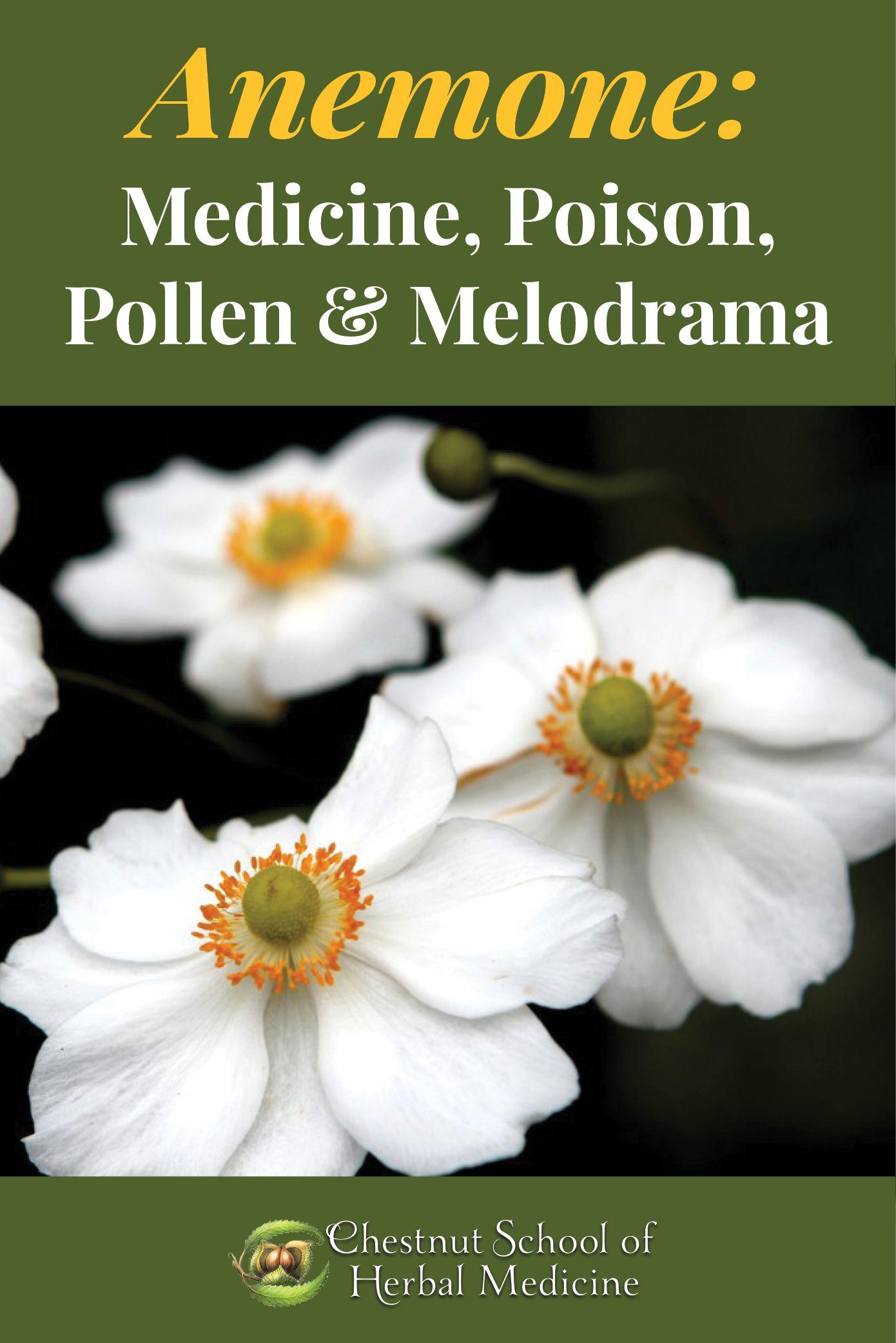 Anemone Medicine Poison Pollen And Melodrama Chestnut School Anemone Medicine Herbal Medicine