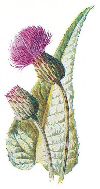 Printable Scottish Heather Google Search Botanical Illustration Botanical Drawings Flower Drawing