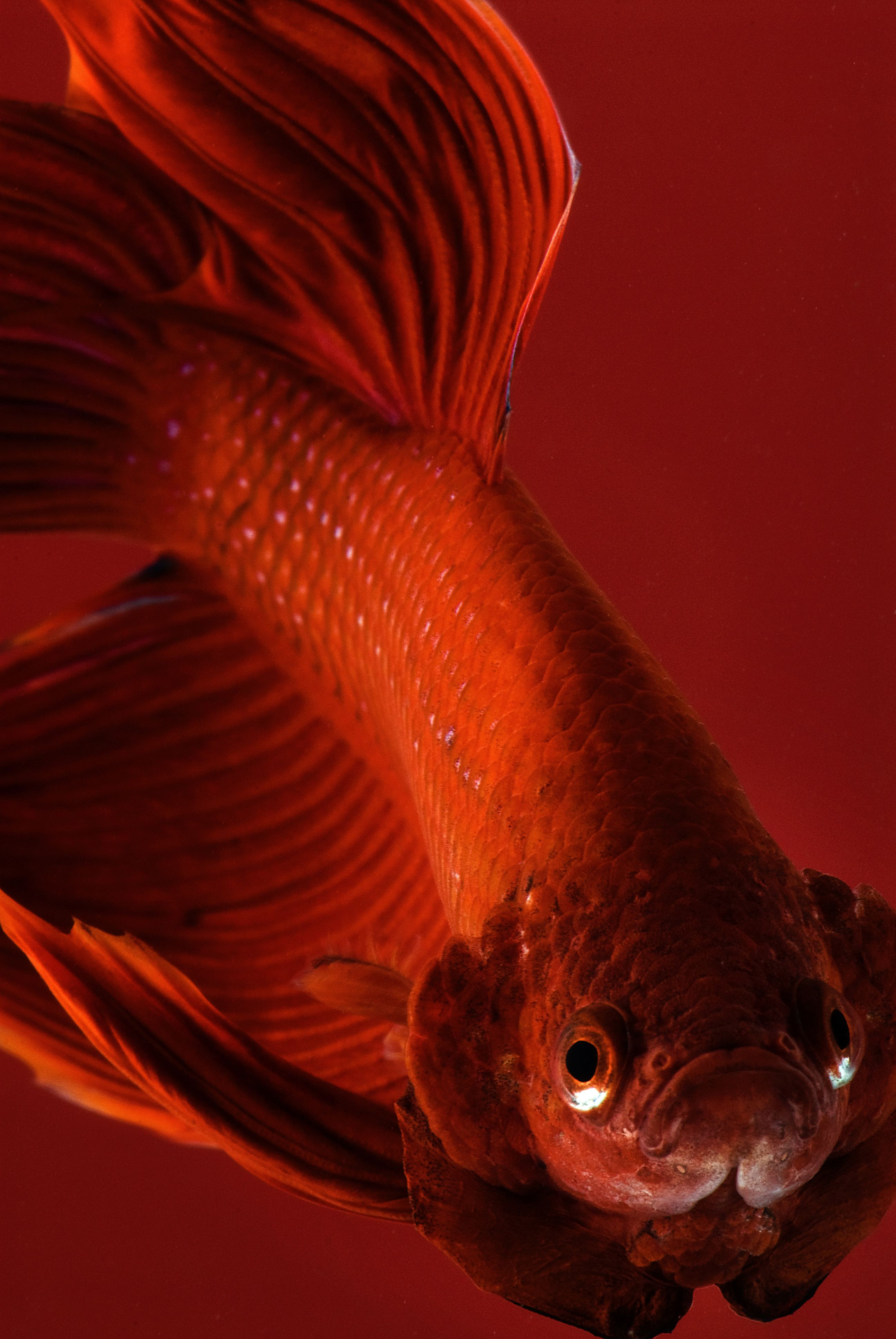 Bettas can grow up to two to 8 inches in length, depending on the ...