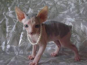 Sphynx   Hairless cat, Sphynx cat, Crazy cats