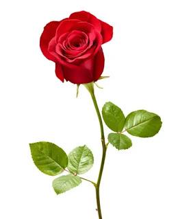 صور ورد طبيعي رومانسي احمر In 2021 Beautiful Rose Flowers Rose Flower Flowers