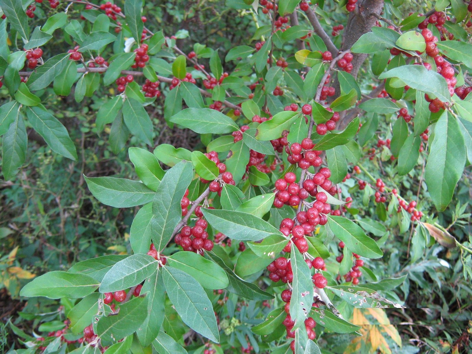 Autumn Olive Is An Attractive Shrub Its Bright Red Berries Stand Out Among The Silvery Green Leaves Autumn Olive Invasive Plants Garden Shrubs