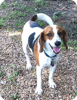 Houston Tx Beagle Jimmy Beagle Dog Adoption No Kill Animal