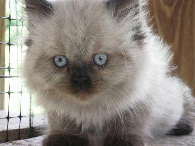 Cfa Reg Persian Himalayan Kittens Himalayans For Sale Hinton West Virginia Persian Cat Rescue Persian Cat Cat Rescue