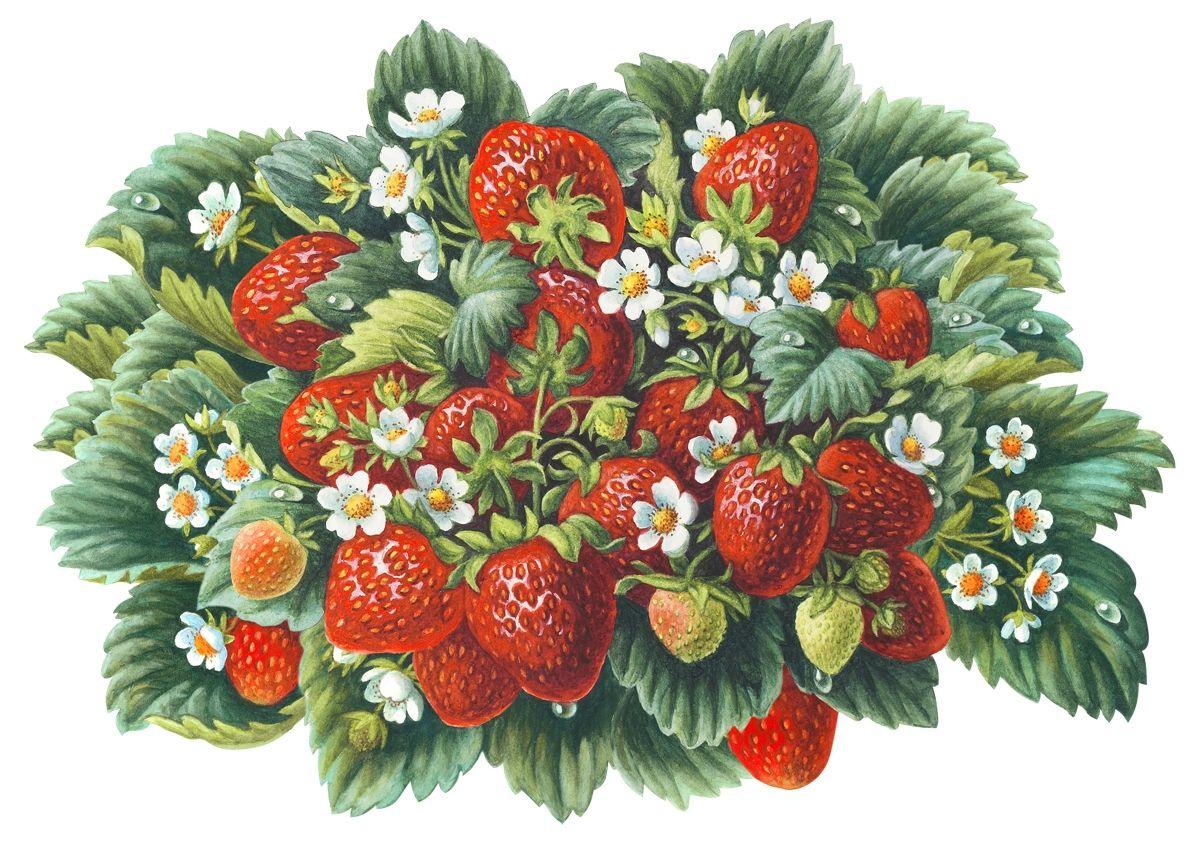 Картинка кустик с ягодами для детей