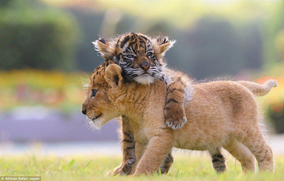 These adorable lion and tiger cubs were born at African Safari in the Oita prefecture of J...
