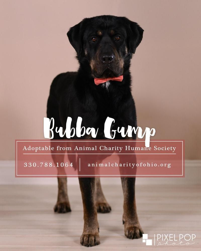 Meet Bubba Gump An Adoptable Rottweiler Looking For A Forever