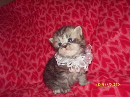 CFA PERSIAN KITTENS THE Rolls Royce of PERSIAN val .gift