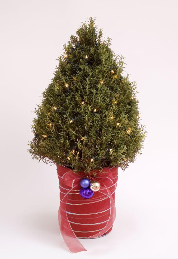 How to Grow a Rosemary Christmas Tree and Keep It Alive   Rosemary christmas tree, Potted ...