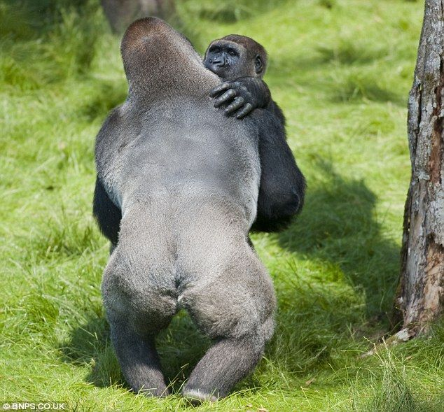 Embrace: Gorillas Kesho and Alf embrace give each other a hug after being reunited at Longleat Safari Park