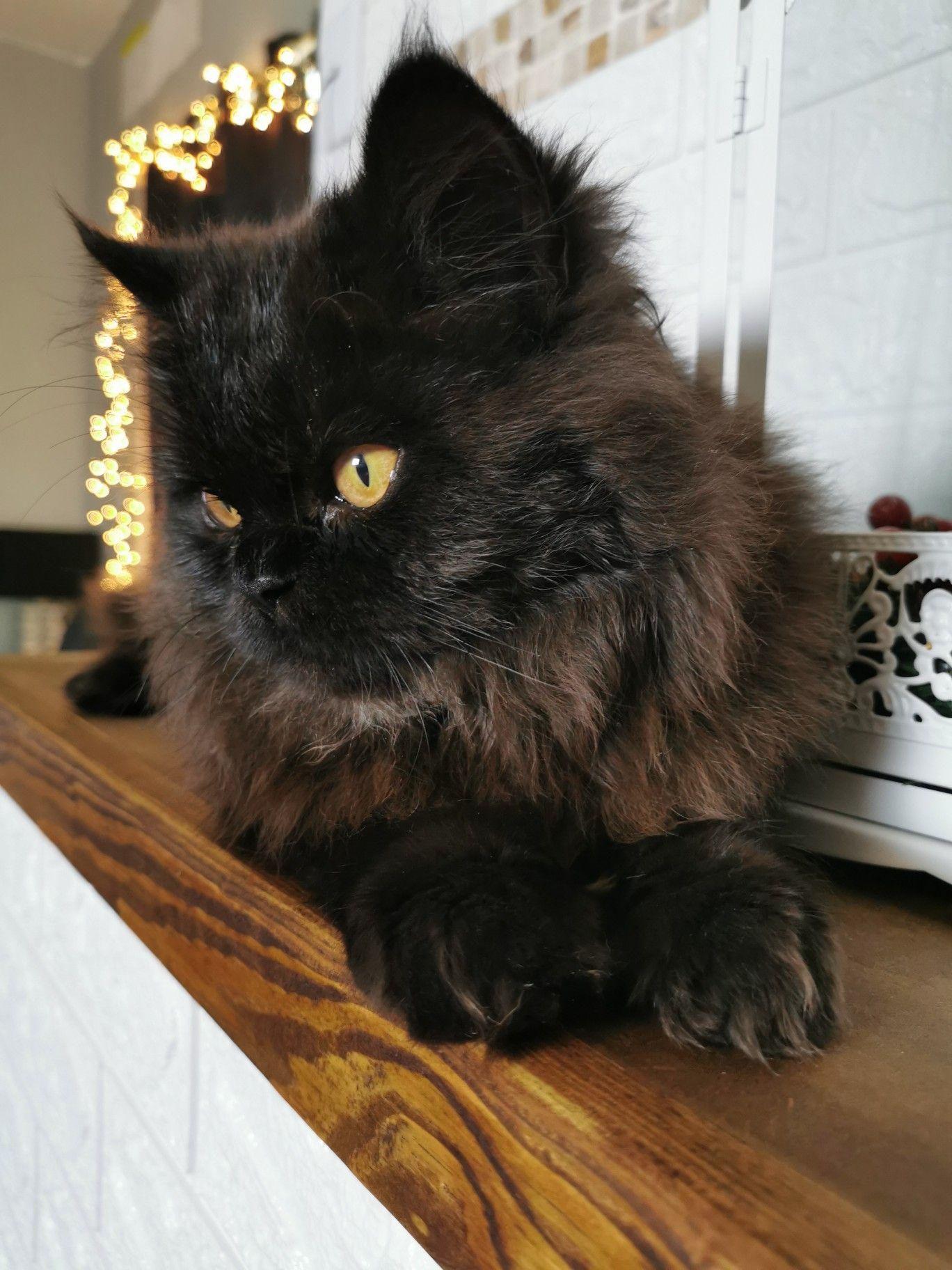 Gato persa color chocolate #rengartheinstacat #rengar #kittens #gatitos #persiancat #persiancatstagram #persiancats #persiancatlovers #gatospersas #gatospersa #gatos #gatosmonterrey #gatosmexico #persacat #gatosdeinstagram #catsofinstagram