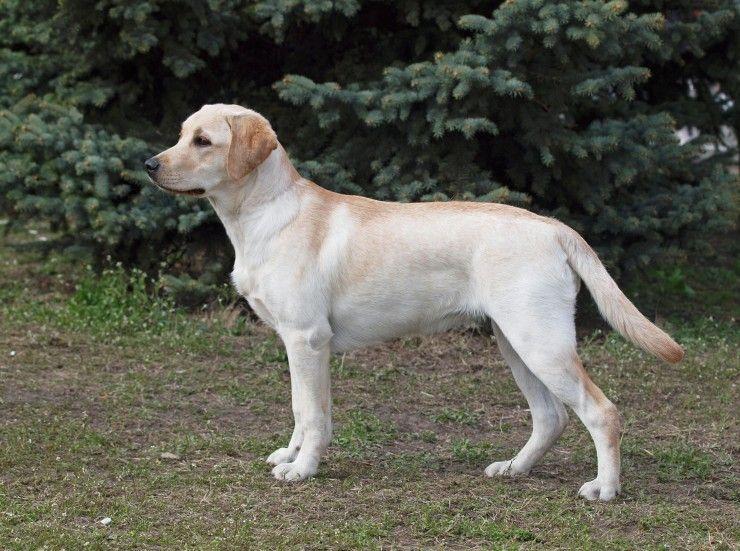 Goldador Dog breeds, Retriever