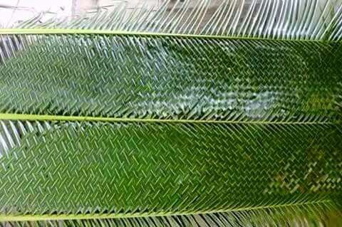 Woven Palm Leaves Palmas Cercos Artesanias