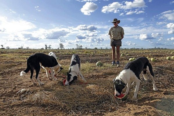 Every Man And His Dog Watermelon Farmer Ian Aka Smiley With Pete Tim Tas And Hulo In Chinchilla Queensland Mans Best Friend Best Friends Man