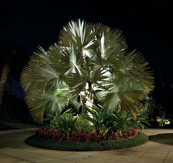 Palm trees landscaping did you know that palm tree roots for Iluminacion para palmeras