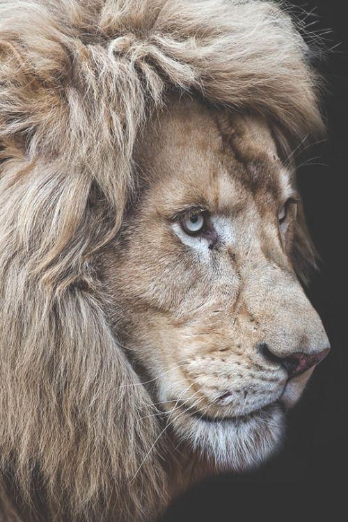 Roaring Lion Profile Tattoo vividessentials...
