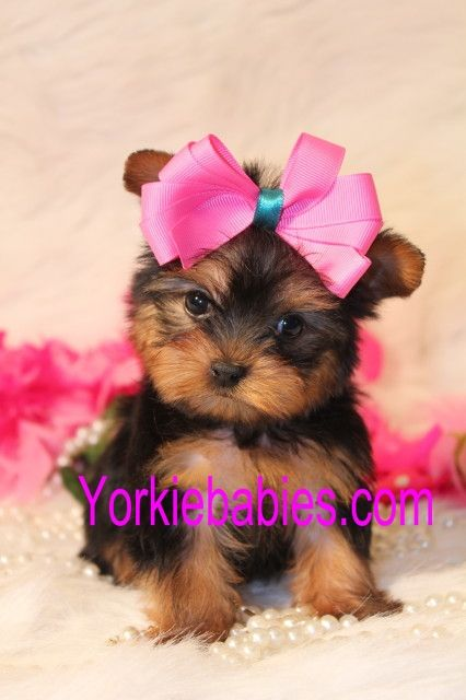 Yorkie Female Puppy Yorkshire Terrier Teacup Yorkshire Terrier