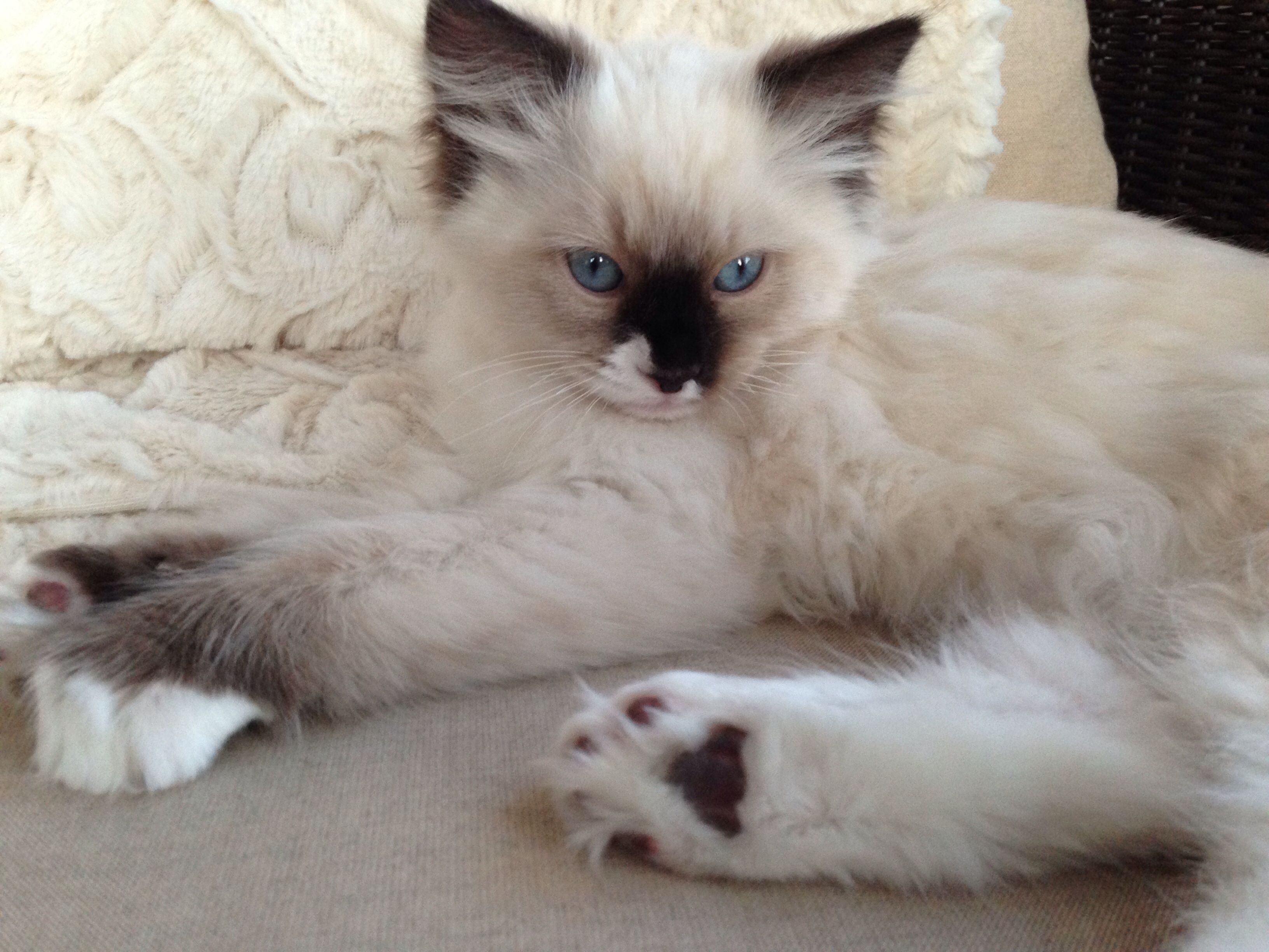 Simply Adorable Ragdoll Cat Gallery Ideas Cat Pics Siamese Cats Blue Point Ragdoll Cat