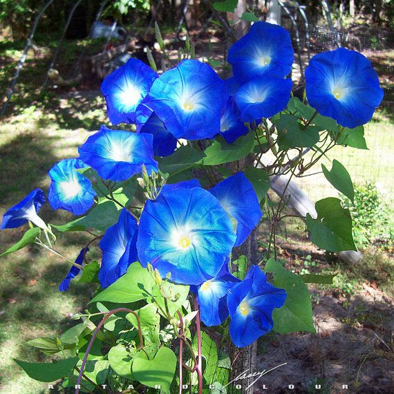 3500 Flower Seeds 100 Grams Large Morning Glory Ipomoea Indica Cypress Wholesale B10781