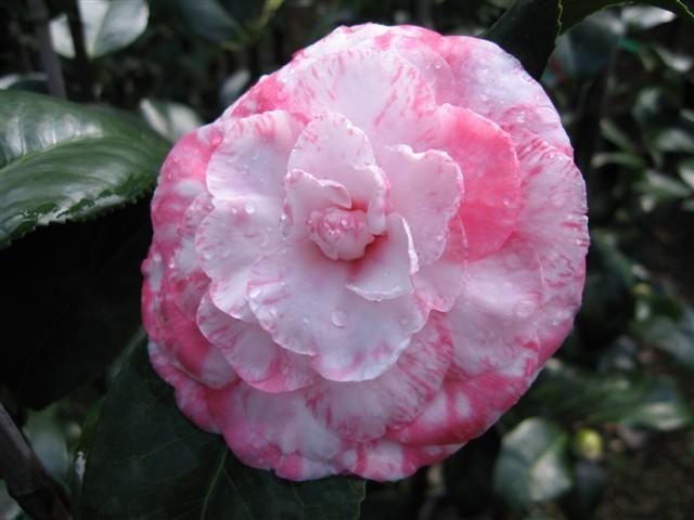 Camellia Japonica Mrs Anne Marie Hovey U S 1872 Camellia Garden Nursery Japonica