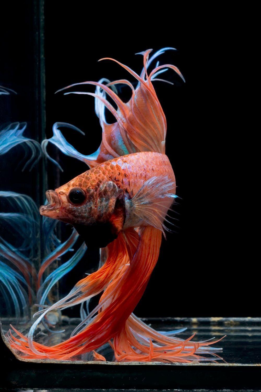 A Guide To Buying Betta Fish Online In 2020 Betta Fish Betta Betta Fish Types