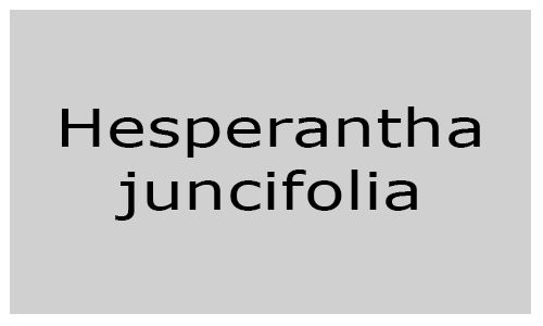 Hesperantha juncifolia