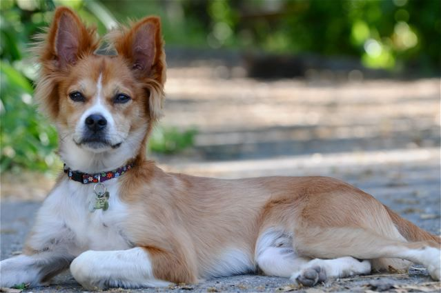 collie chihuahua mix