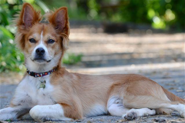 Corgi Chow Mix Pretty Dogs Unique Dog Breeds Dog Breeds