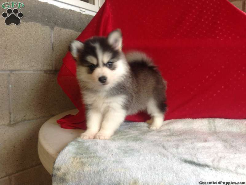 Pomsky Puppies For Sale In Pa Pomsky Puppies Puppies Cute