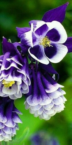 Resultado de imagem para purple and white flower names flores e resultado de imagem para purple and white flower names mightylinksfo